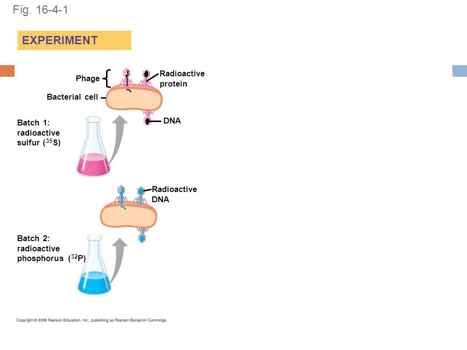 Fig. 16-4-1 EXPERIMENT Phage DNA Bacterial cell Radioactive protein Radioactive DNA Batch 1: radioactive sulfur ( 35 S) Batch 2: radioactive phosphoru