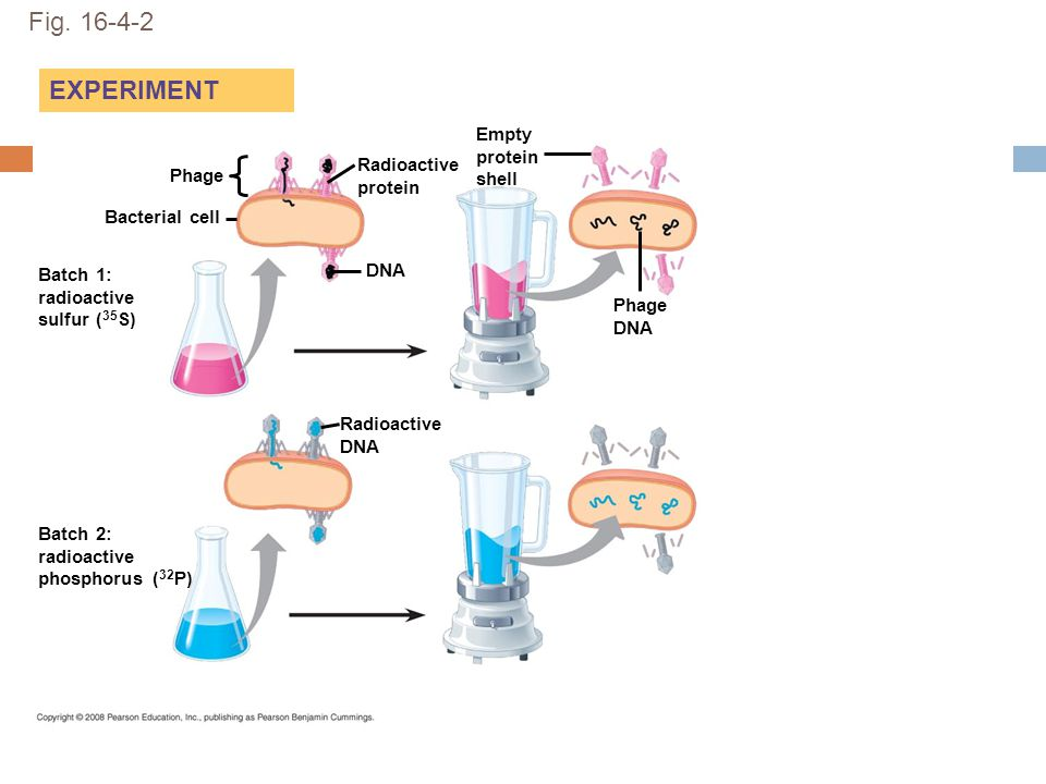 Fig. 16-4-2 EXPERIMENT Phage DNA Bacterial cell Radioactive protein Radioactive DNA Batch 1: radioactive sulfur ( 35 S) Batch 2: radioactive phosphoru