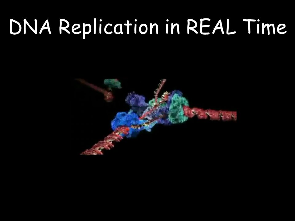 DNA Replication in REAL Time