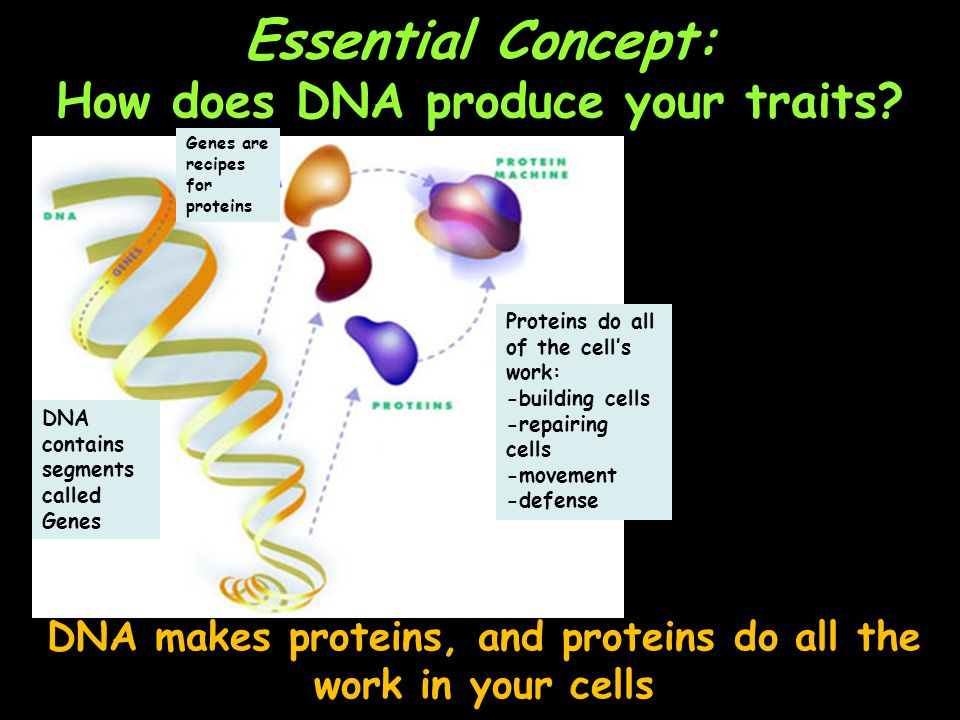 Essential Concept: How does DNA produce your traits.