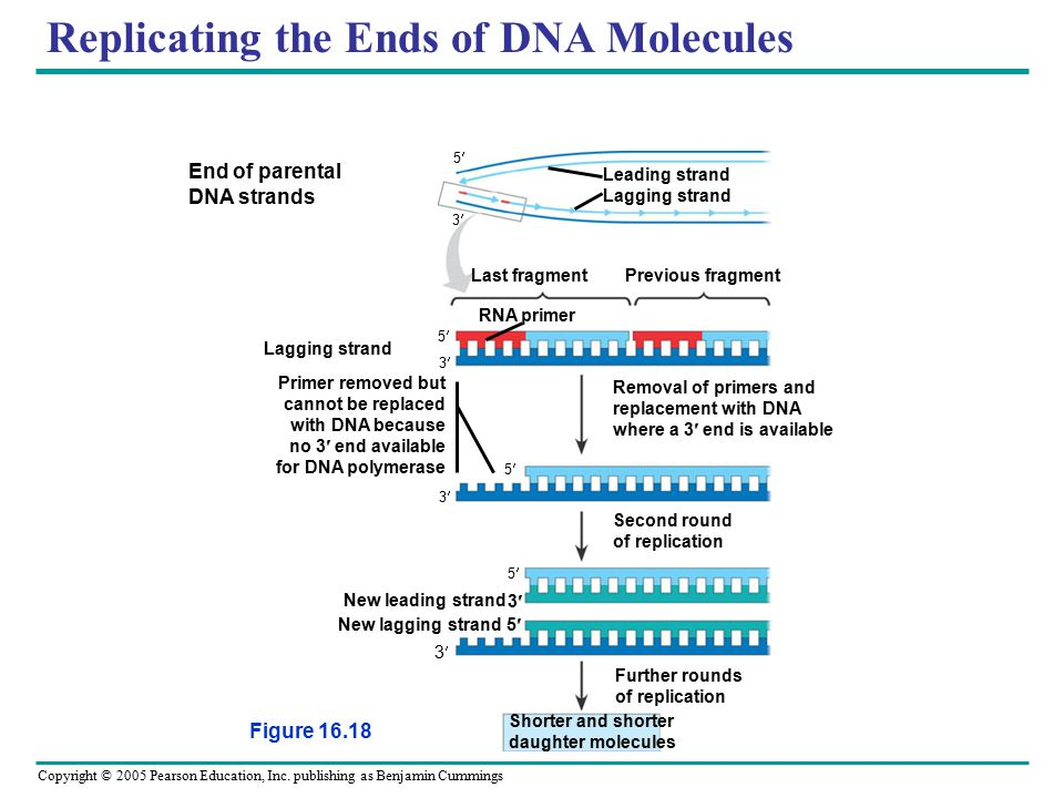 Copyright © 2005 Pearson Education, Inc. publishing as Benjamin Cummings Replicating the Ends of DNA Molecules Figure 16.18 End of parental DNA strand