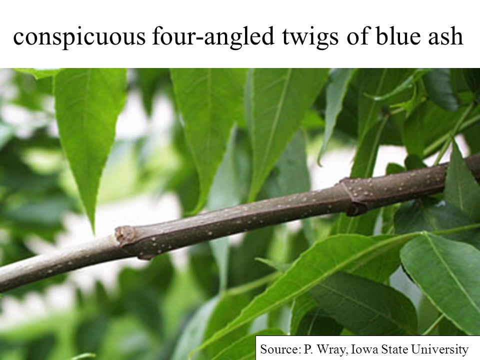 Source: P. Wray, Iowa State University conspicuous four-angled twigs of blue ash