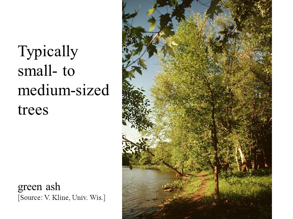 Typically small- to medium-sized trees green ash [Source: V. Kline, Univ. Wis.]
