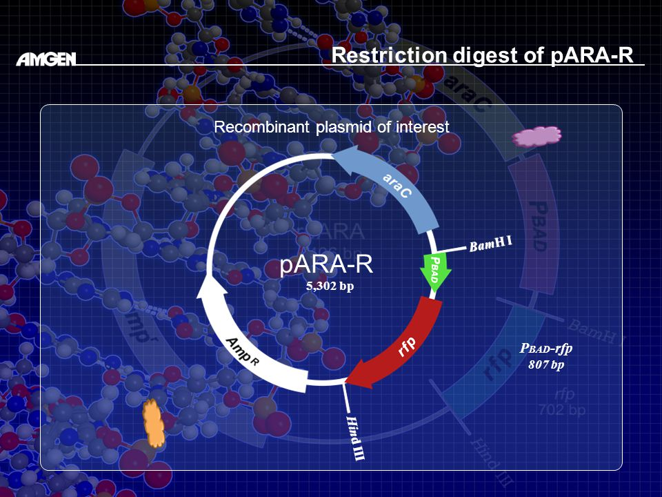 BamH I Hind III BamH I Hind III Restriction digest of pARA-R Recombinant plasmid of interest pARA-R 5,302 bp P BAD -rfp 807 bp