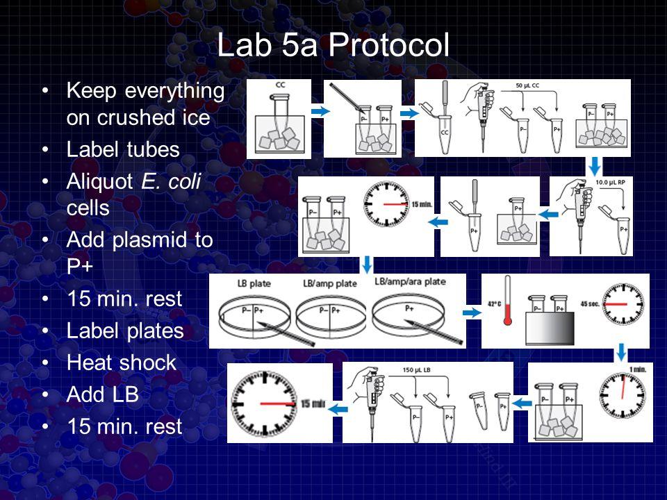 Lab 5a Protocol Keep everything on crushed ice Label tubes Aliquot E.