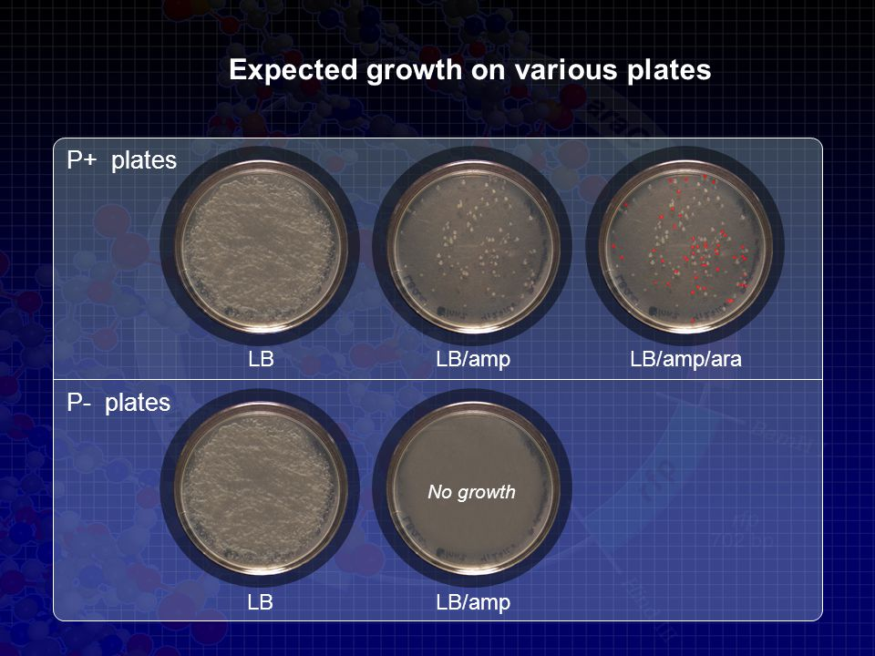 Expected growth on various plates P+ plates P- plates LBLB/ampLB/amp/ara LBLB/amp No growth