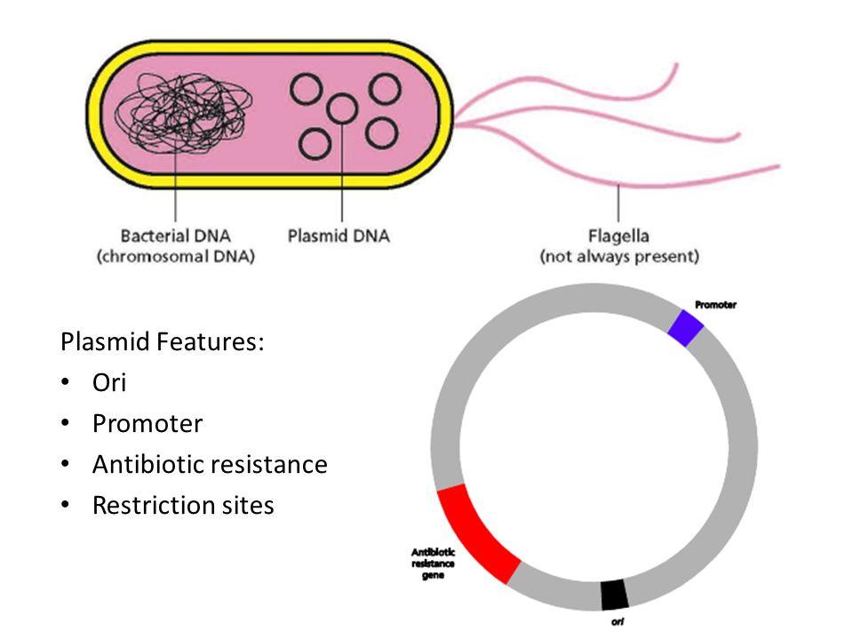 Plasmid Features: Ori Promoter Antibiotic resistance Restriction sites