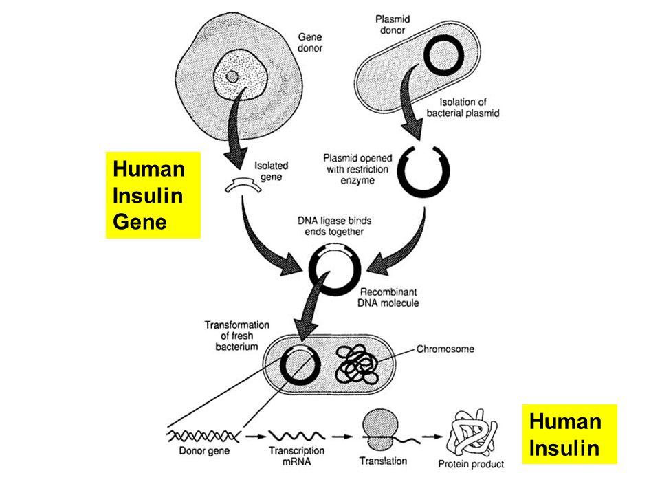 Human Insulin Gene Human Insulin