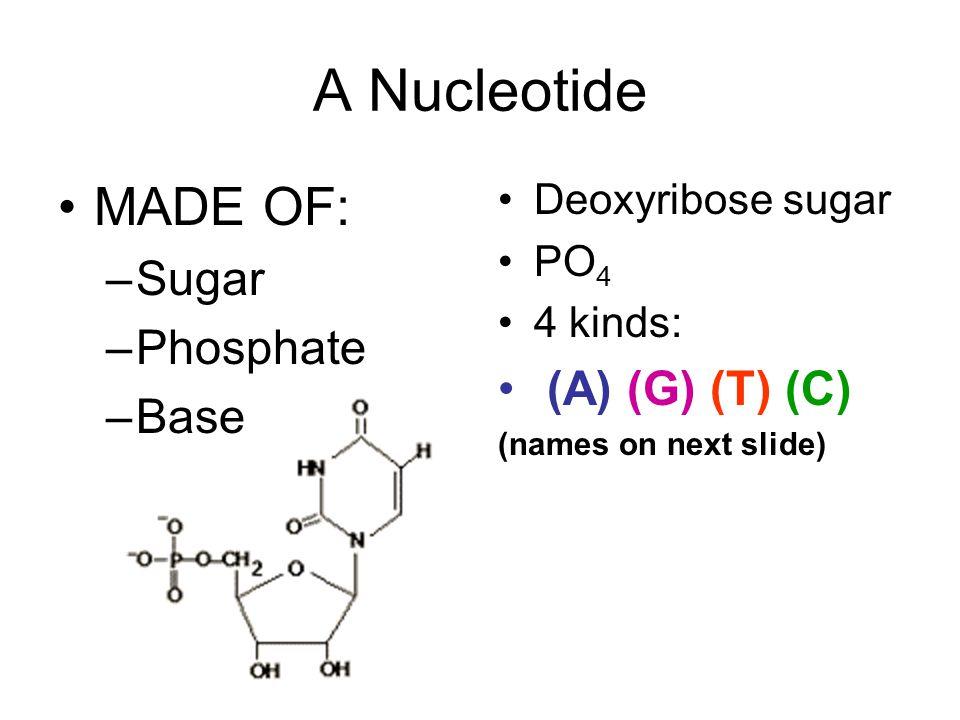A Nucleotide MADE OF: –Sugar –Phosphate –Base Deoxyribose sugar PO 4 4 kinds: (A) (G) (T) (C) (names on next slide)