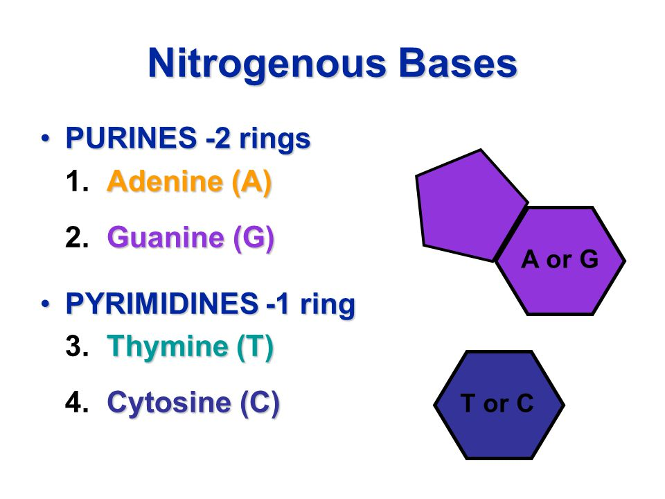 Nitrogenous Bases PURINES -2 ringsPURINES -2 rings Adenine (A) 1.Adenine (A) Guanine (G) 2.Guanine (G) PYRIMIDINES -1 ringPYRIMIDINES -1 ring Thymine (T) 3.Thymine (T) Cytosine (C) 4.Cytosine (C) T or C A or G