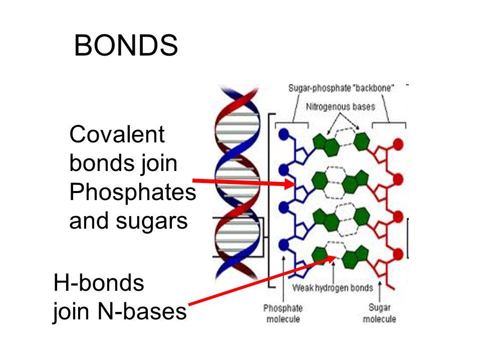 BONDS Covalent bonds join Phosphates and sugars H-bonds join N-bases