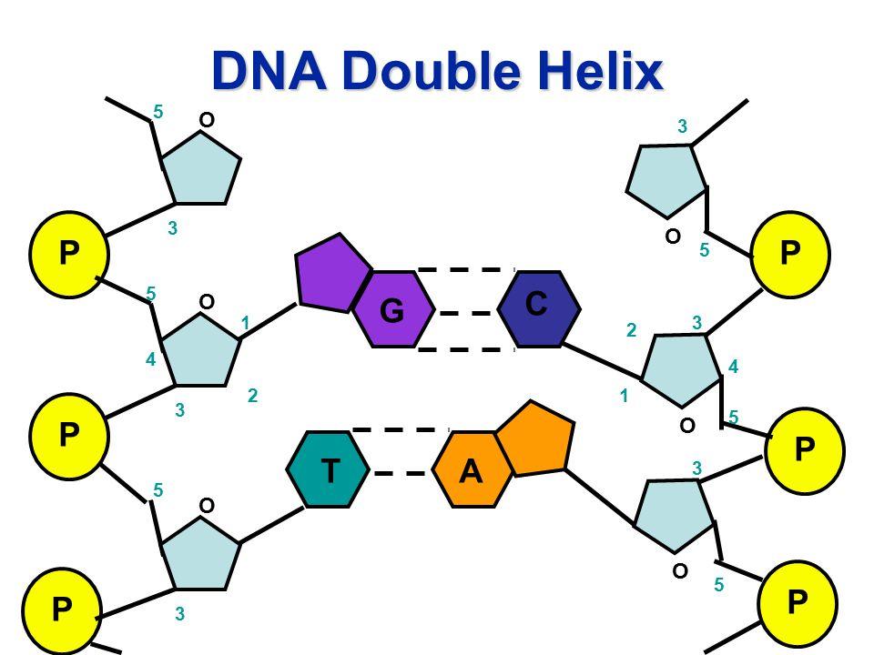 DNA Double Helix P P P O O O 1 2 3 4 5 5 3 3 5 P P P O O O 1 2 3 4 5 5 3 5 3 G C TA