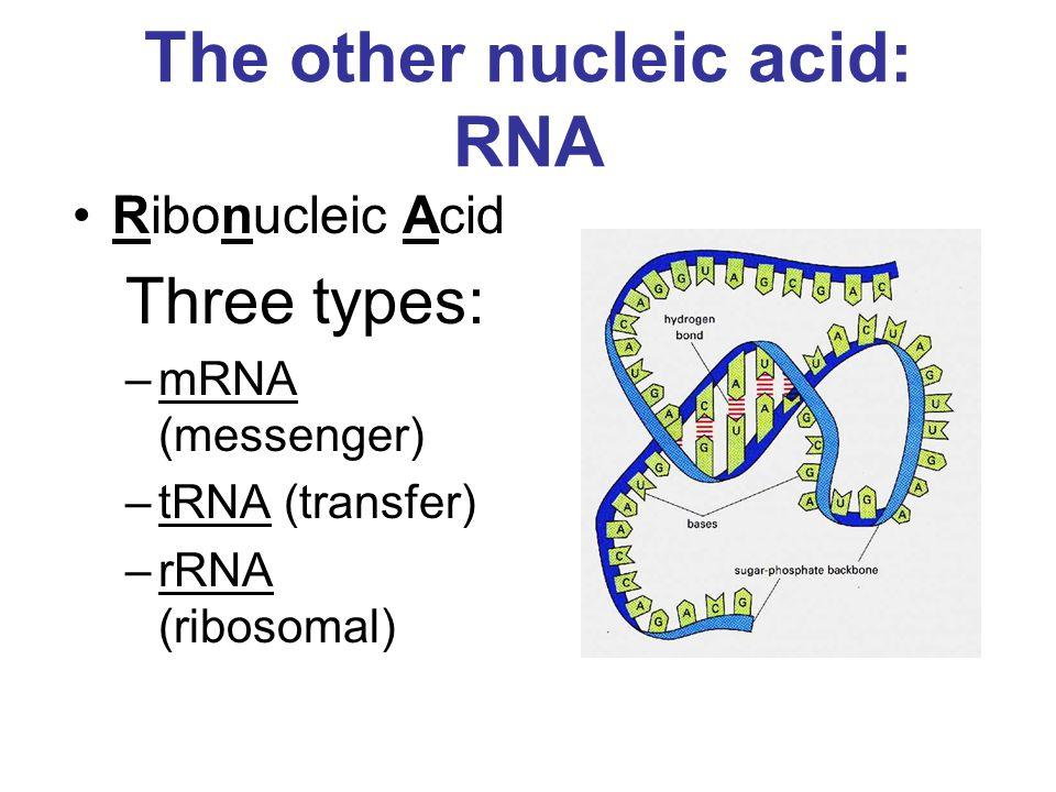The other nucleic acid: RNA Ribonucleic Acid Three types: –mRNA (messenger) –tRNA (transfer) –rRNA (ribosomal)