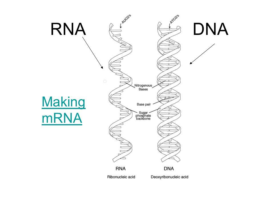 RNA DNA Making mRNA