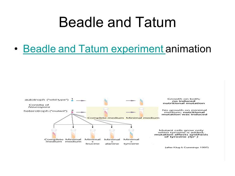 Beadle and Tatum Beadle and Tatum experiment animationBeadle and Tatum experiment