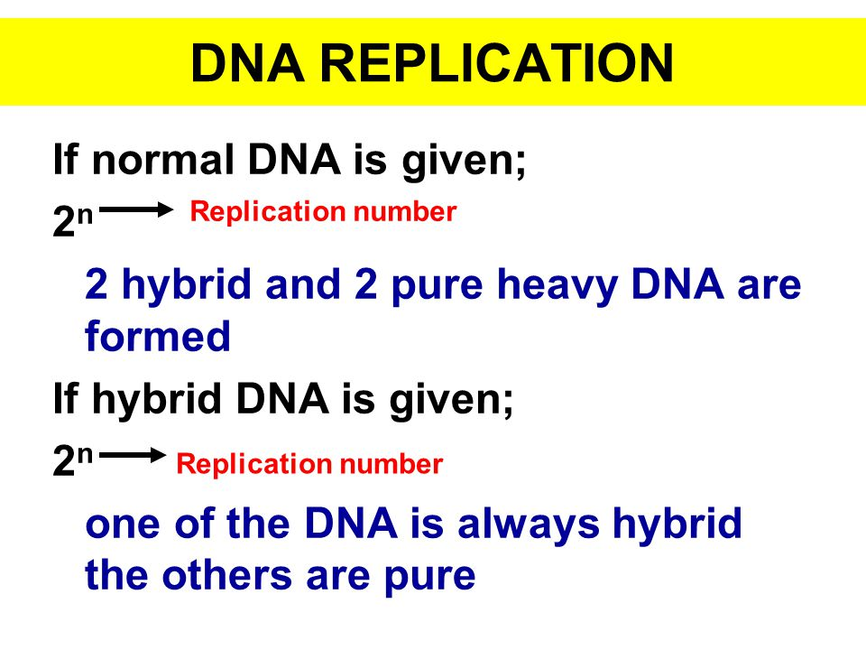If normal DNA is given; 2 n 2 hybrid and 2 pure heavy DNA are formed If hybrid DNA is given; 2 n one of the DNA is always hybrid the others are pure D