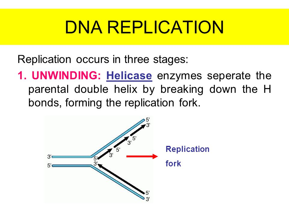 DNA REPLICATION Replication occurs in three stages: 1. UNWINDING: Helicase enzymes seperate the parental double helix by breaking down the H bonds, fo
