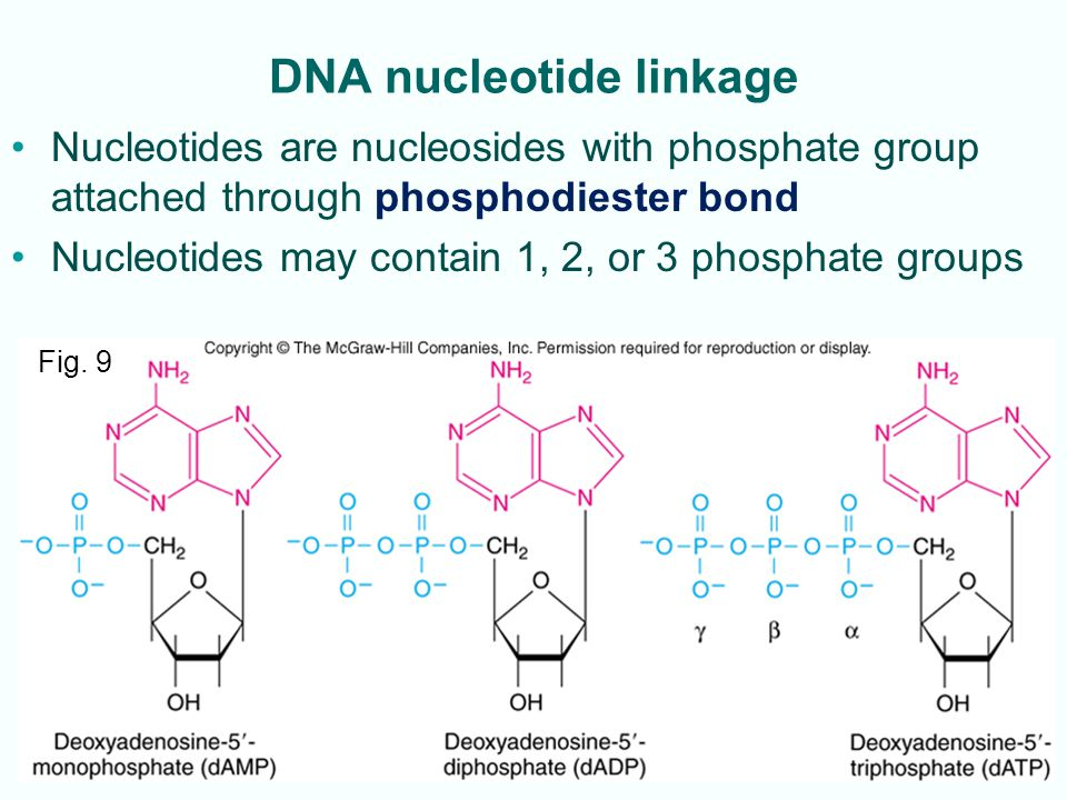 2-21 DNA nucleotide linkage Nucleotides are nucleosides with phosphate group attached through phosphodiester bond Nucleotides may contain 1, 2, or 3 p