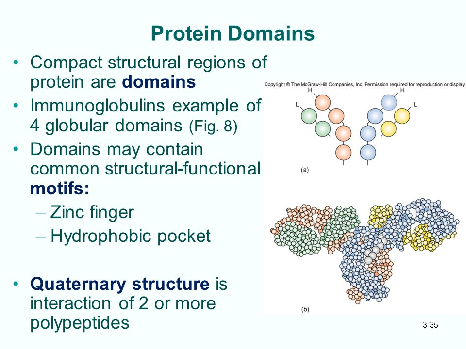 3-35 Protein Domains Compact structural regions of protein are domains Immunoglobulins example of 4 globular domains (Fig. 8) Domains may contain comm