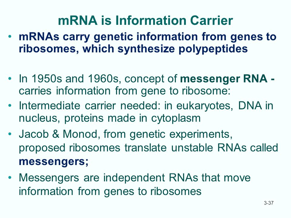 3-37 mRNA is Information Carrier mRNAs carry genetic information from genes to ribosomes, which synthesize polypeptides In 1950s and 1960s, concept of