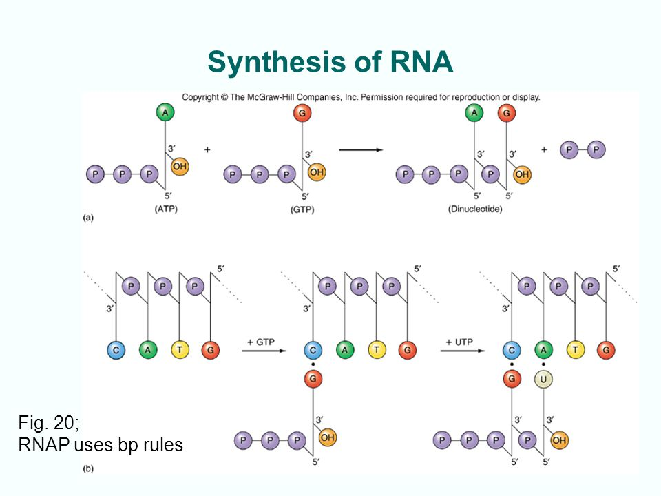 3-39 Synthesis of RNA Fig. 20; RNAP uses bp rules
