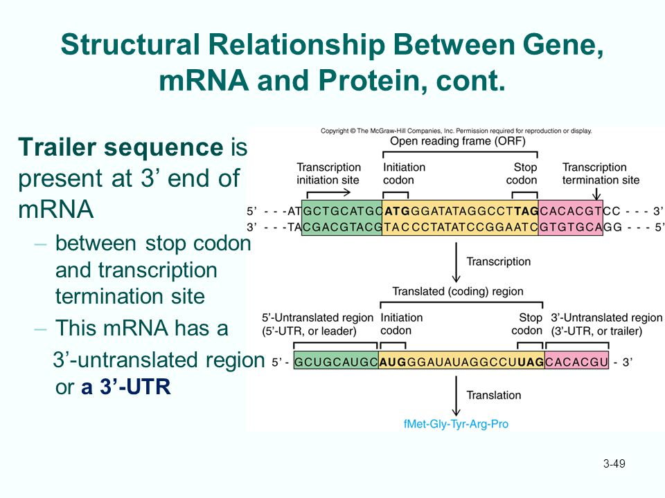 3-49 Structural Relationship Between Gene, mRNA and Protein, cont. Trailer sequence is present at 3' end of mRNA –between stop codon and transcription