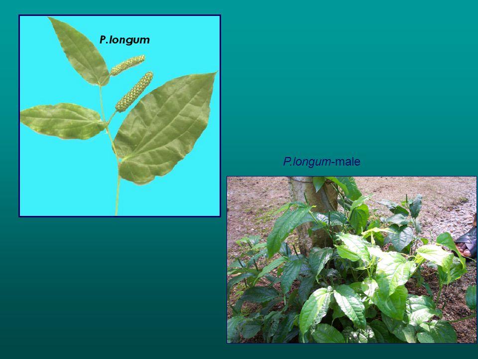 P.longum-male