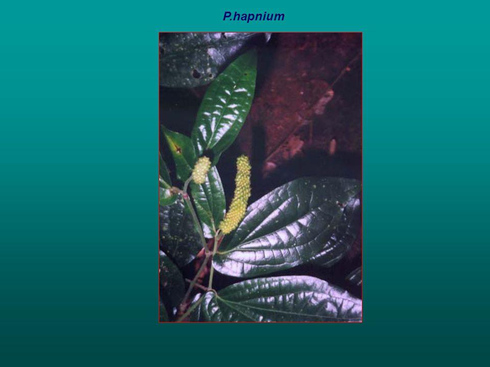 P.hapnium
