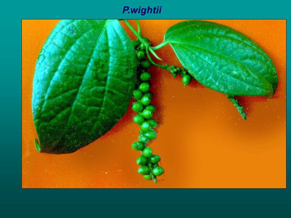 P.wightii