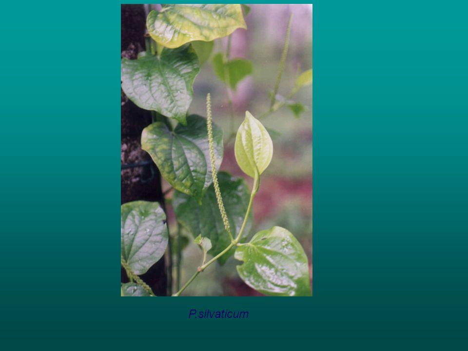 P.silvaticum