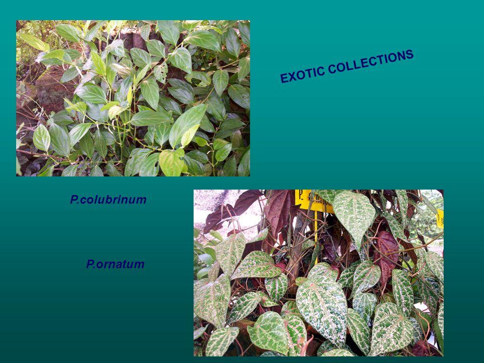 P.colubrinum P.ornatum EXOTIC COLLECTIONS
