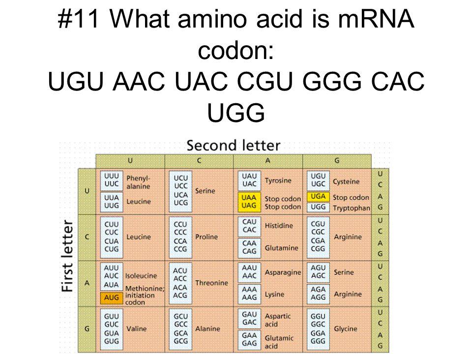 #11 What amino acid is mRNA codon: UGU AAC UAC CGU GGG CAC UGG