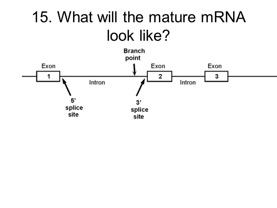 15. What will the mature mRNA look like?