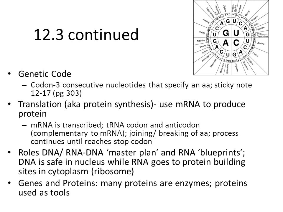 12.3 continued Genetic Code – Codon-3 consecutive nucleotides that specify an aa; sticky note 12-17 (pg 303) Translation (aka protein synthesis)- use mRNA to produce protein – mRNA is transcribed; tRNA codon and anticodon (complementary to mRNA); joining/ breaking of aa; process continues until reaches stop codon Roles DNA/ RNA-DNA 'master plan' and RNA 'blueprints'; DNA is safe in nucleus while RNA goes to protein building sites in cytoplasm (ribosome) Genes and Proteins: many proteins are enzymes; proteins used as tools