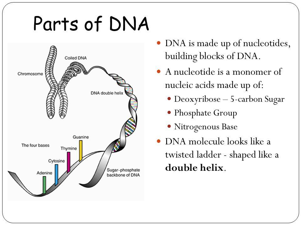 Parts of DNA DNA is made up of nucleotides, building blocks of DNA.