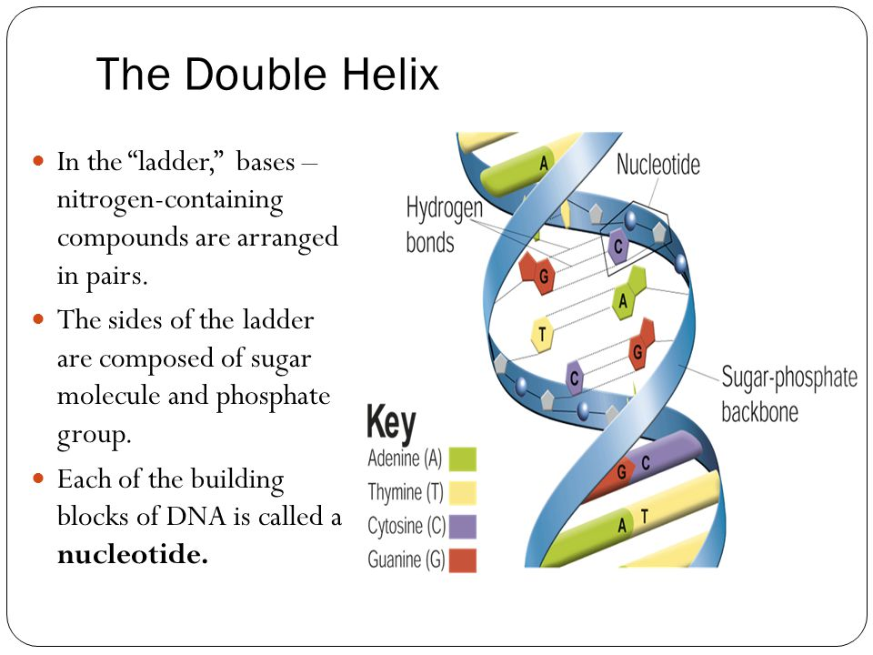 The Double Helix In the ladder, bases – nitrogen-containing compounds are arranged in pairs.