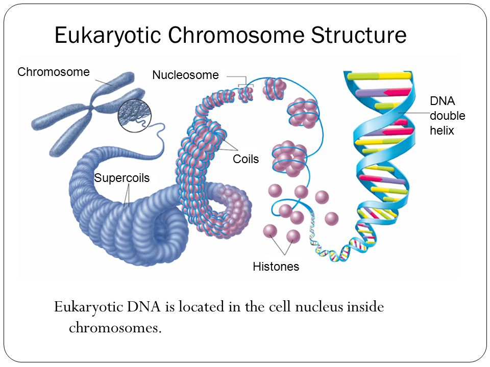 Chromosome Supercoils Nucleosome DNA double helix Histones Coils Eukaryotic Chromosome Structure Eukaryotic DNA is located in the cell nucleus inside