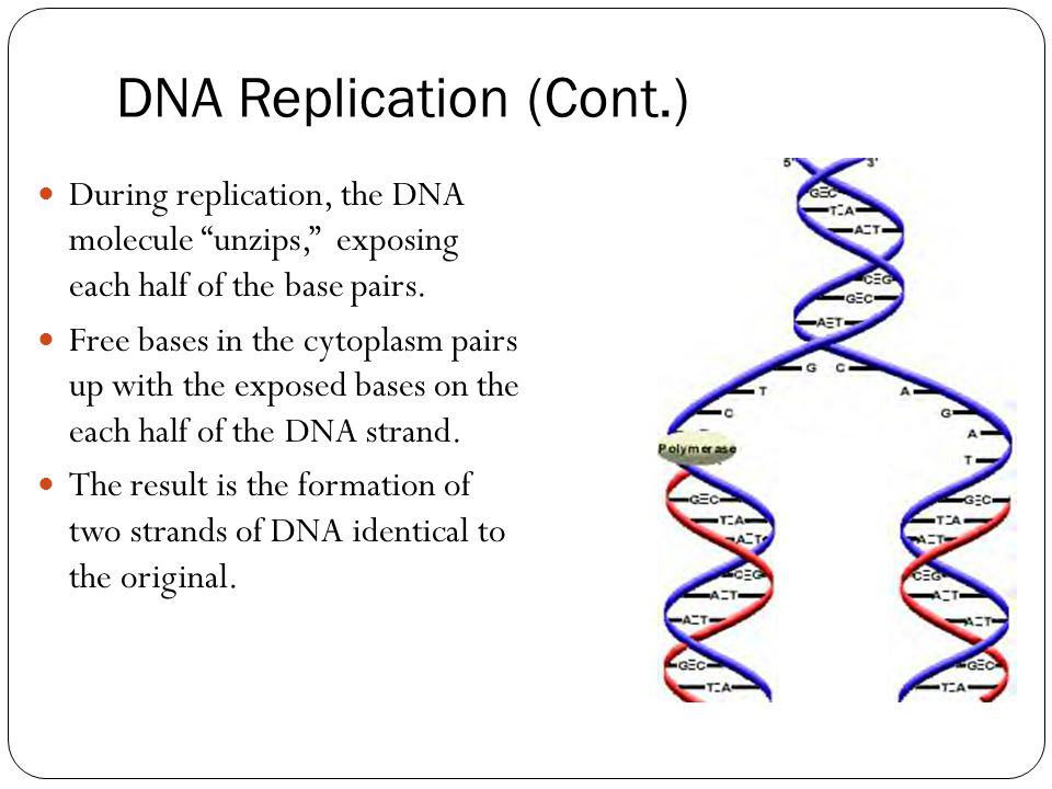 """DNA Replication (Cont.) During replication, the DNA molecule """"unzips,"""" exposing each half of the base pairs. Free bases in the cytoplasm pairs up with"""