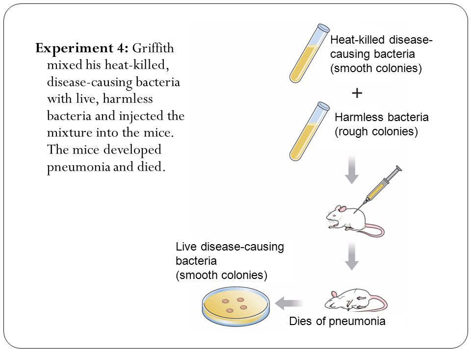 Experiment 4: Griffith mixed his heat-killed, disease-causing bacteria with live, harmless bacteria and injected the mixture into the mice.