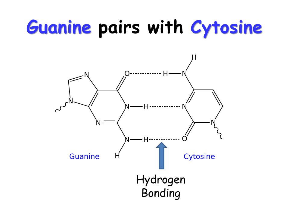 GuanineCytosine Guanine pairs with Cytosine Hydrogen Bonding