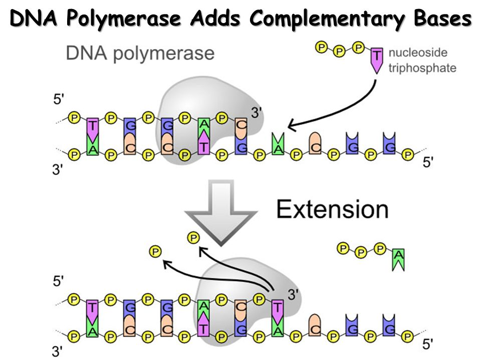 DNA Polymerase Adds Complementary Bases