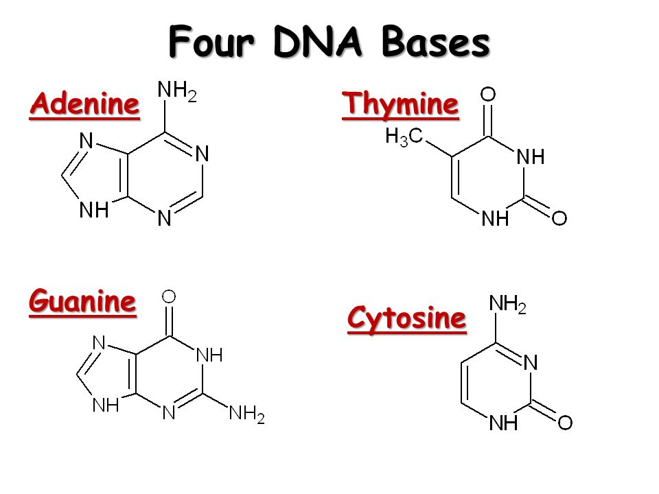 Four DNA Bases AdenineThymine Guanine Cytosine