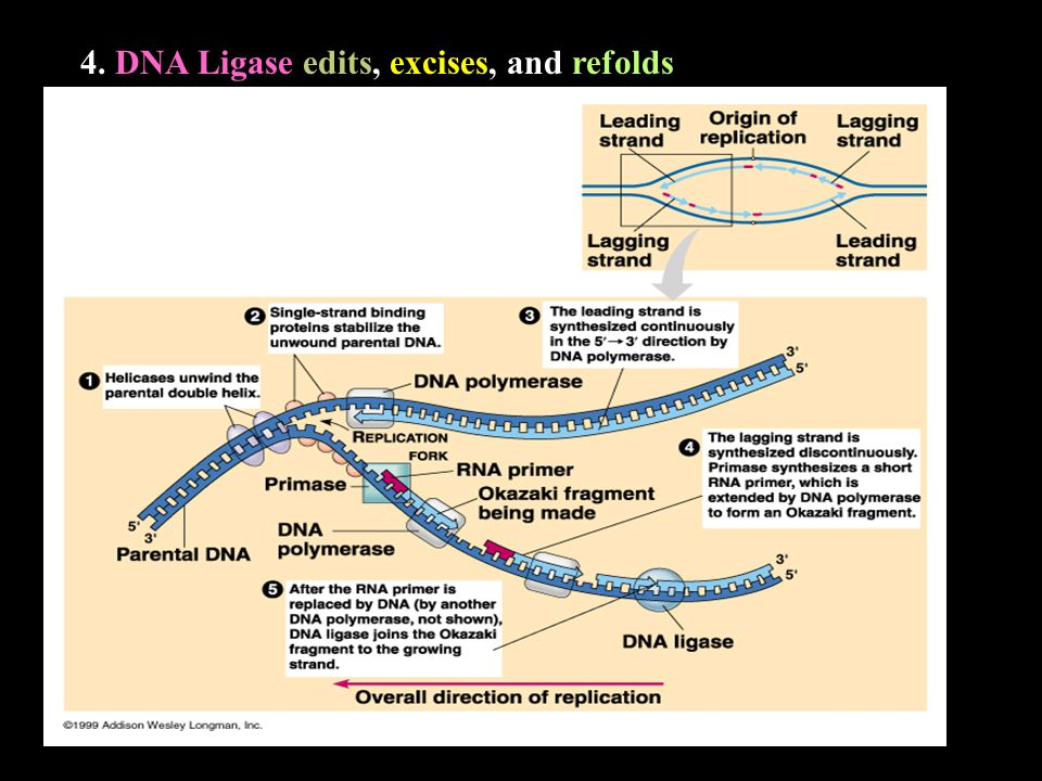 4. DNA Ligase edits, excises, and refolds