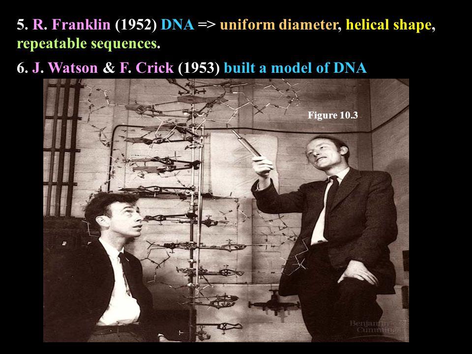 5. R. Franklin (1952) DNA => uniform diameter, helical shape, repeatable sequences.