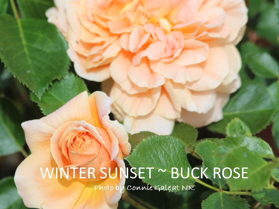 WINTER SUNSET ~ BUCK ROSE Photo by Connie Gale at NR
