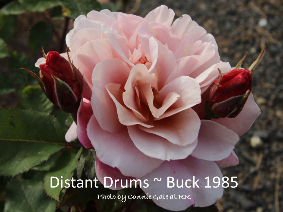 Distant Drums ~ Buck 1985 Photo by Connie Gale at RR