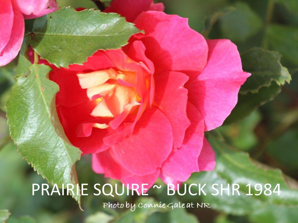 PRAIRIE SQUIRE ~ BUCK SHR 1984 Photo by Connie Gale at NR
