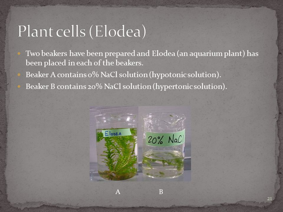 Two beakers have been prepared and Elodea (an aquarium plant) has been placed in each of the beakers. Beaker A contains 0% NaCl solution (hypotonic so