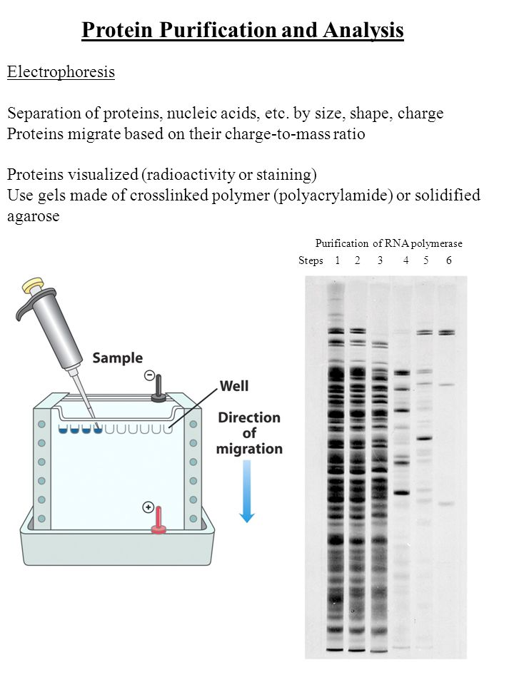 Protein Purification and Analysis Electrophoresis Separation of proteins, nucleic acids, etc.