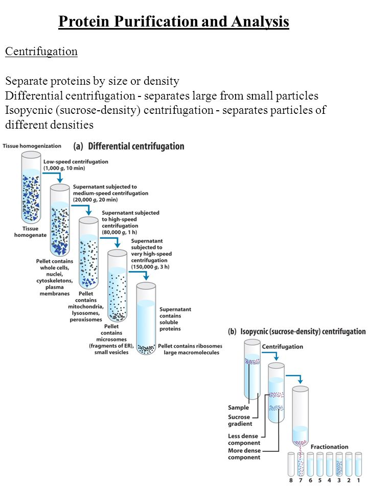 Protein Purification and Analysis Centrifugation Separate proteins by size or density Differential centrifugation - separates large from small particles Isopycnic (sucrose-density) centrifugation - separates particles of different densities